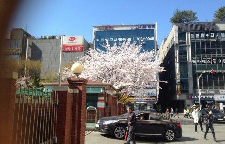הניצנים נראו בקוריאה – עת האביב היגיע!